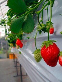 Strawberry picking in Japan by http://www.flickr.com/photos/rumpleteaser/3297271474/